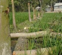 লালপুরে ১৮০টি ফলগাছ কেটে ফেলেছে দুর্বৃত্তরা